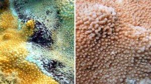 Coral_BBD_Press